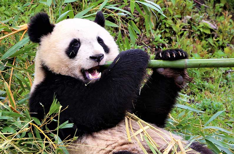 The surprising reasons why no one trophy hunts for pandas